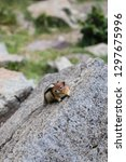 curious chipmunk hiding between ... | Shutterstock . vector #1297675996