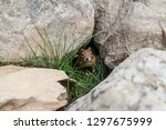 curious chipmunk hiding between ... | Shutterstock . vector #1297675999