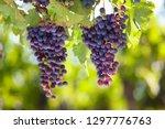 bunches of ripe purple grapes... | Shutterstock . vector #1297776763