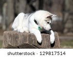 siberian husky puppy | Shutterstock . vector #129817514