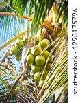 cluster of green coconut fruit... | Shutterstock . vector #1298175796