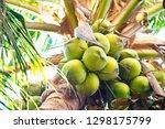 cluster of green coconut fruit... | Shutterstock . vector #1298175799