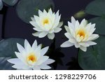 beautiful water lily flowers in ... | Shutterstock . vector #1298229706