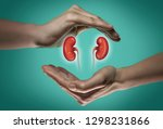 A Human Kidneys Between Two...