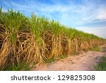 sugarcane field in blue sky and ... | Shutterstock . vector #129825308