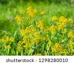 bittercress or herb barbara ... | Shutterstock . vector #1298280010