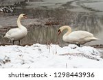 two whooper swans at the lake... | Shutterstock . vector #1298443936