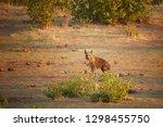 wild brown hyena  parahyaena...   Shutterstock . vector #1298455750