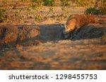 wild brown hyena  parahyaena...   Shutterstock . vector #1298455753