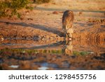 brown hyena  parahyaena brunnea ...   Shutterstock . vector #1298455756