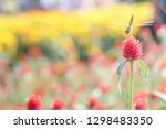 Stock photo globe amaranth or gomphrena globosa bachelor button with dragonflies in the garden 1298483350