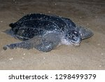 Adult Female Leatherback Sea...
