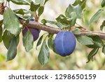 Ripe Prune Plum On Plum Tree...