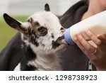 Baby Goat Being Fed By Bottle