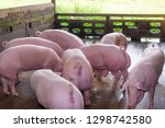 Breeders Pink Pigs On A Farm I...