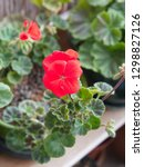 geranium zonal with red flowers ... | Shutterstock . vector #1298827126