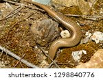 bedriaga's skink or three toed... | Shutterstock . vector #1298840776