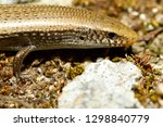 bedriaga's skink or three toed... | Shutterstock . vector #1298840779