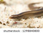 bedriaga's skink or three toed... | Shutterstock . vector #1298840800