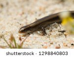 bedriaga's skink or three toed... | Shutterstock . vector #1298840803