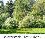 blooming bird cherry or... | Shutterstock . vector #1298846950