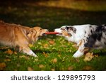 Stock photo two dogs playing with a toy together in autumn 129895793