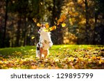 Stock photo young merle australian shepherd playing with leaves in autumn 129895799