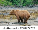at low tide  grizzly bears come ... | Shutterstock . vector #1298977759