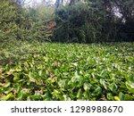 water hyacinths in river. it is ...   Shutterstock . vector #1298988670