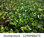 water hyacinths in river. it is ...   Shutterstock . vector #1298988673