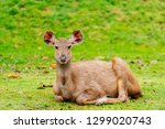tropical forest deer in natural ... | Shutterstock . vector #1299020743