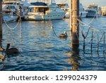 A Flock Of Brown Pelicans...