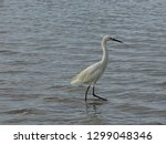 great white snowy egret bird on ... | Shutterstock . vector #1299048346
