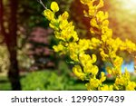 beautiful yellow flowers on a... | Shutterstock . vector #1299057439