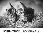 Stock photo three furry kittens walking outdoors on hay two striped kittens one black kitten all have blue 1299067519
