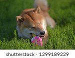 shiba inu gnaws a toy on the... | Shutterstock . vector #1299189229