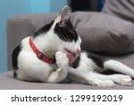 selective focus of cat lick... | Shutterstock . vector #1299192019
