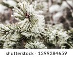 pine branches covered with snow ... | Shutterstock . vector #1299284659