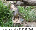 lace monitor lizard on a log in ... | Shutterstock . vector #1299372949