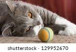Stock photo british shorthair cat watching her colorful ball 129952670