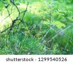 hairy wood rush  luzula pilosa  ... | Shutterstock . vector #1299540526