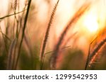 blurred grass flower in the... | Shutterstock . vector #1299542953