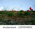 An old fortress wall with poppies and  other flowers growing between the cracks, Gjirokastra, Albania