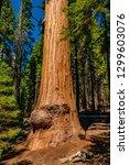 huge sequoia tree in the... | Shutterstock . vector #1299603076