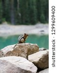 cute brown chipmunk sitting on... | Shutterstock . vector #1299609400