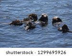 beautiful trio of rafting sea...   Shutterstock . vector #1299695926