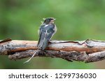 barn swallow chick perched on a ... | Shutterstock . vector #1299736030