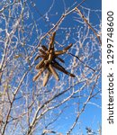 seed pod cluster in tree in the ... | Shutterstock . vector #1299748600