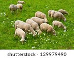 Sheep Grazing In The Alpine...