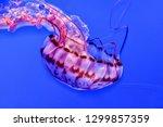 Purple Striped Jellyfish ...